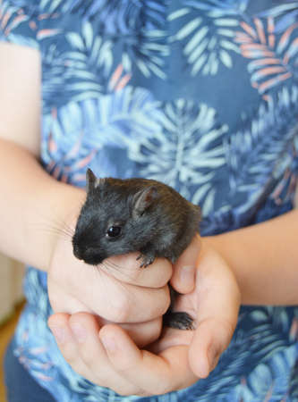 Close-up of a white child holding a cute little black mouse, rat, touching pet care, playing with his pet. Mouse - a symbol of the 2020 New year