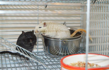 Black and white rats in a cage eating food from a feeder, a pair of Pets, keeping animals in a cage Фото со стока
