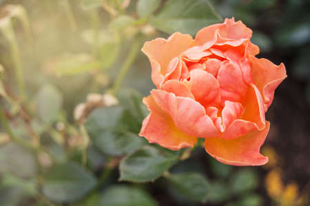 One coral pink rose on a blurred background outdoors. One romantic rose flower for Valentines Day. Copy space.