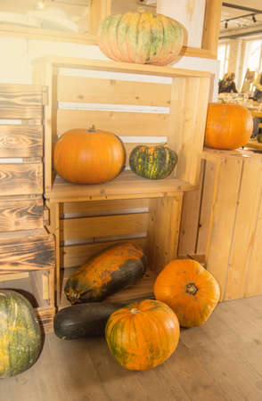 A big crop of orange and green pumpkins on a wooden table and shelves in the room, the concept of Halloween and Thanksgiving.