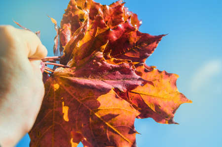 Hand holding a BOUQUET of colorful maple leaves on a background of clear blue sky with sunlight. The fall of the year.