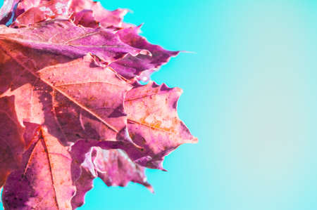Bouquet of orange maple leaves on blue sky background, copy of space on autumn background. Фото со стока
