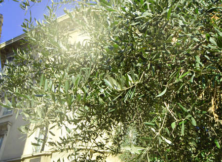 Olives on an olive tree in autumn against a blue sky. Bright sunlight, light. The season of natures harvest. 스톡 콘텐츠