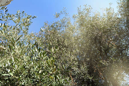 Olives on an olive tree in autumn against a blue sky. Bright sunlight, light. The season of nature's harvest. 스톡 콘텐츠 - 131954437