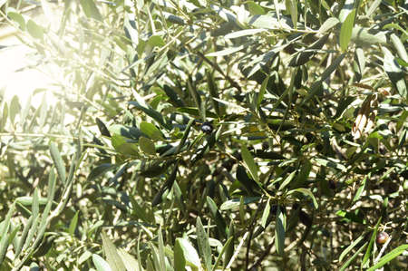 Olives on an olive tree in autumn against a blue sky. Bright sunlight, light. The season of natures harvest. Фото со стока