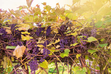 Clusters of purple fragrant wine grapes hang and ripen among the vines in the garden against the bright sunlight.