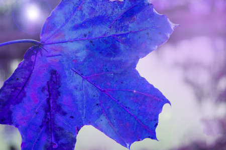 Maple leaf purple shade close-up, on the background of the night dark mysterious color.