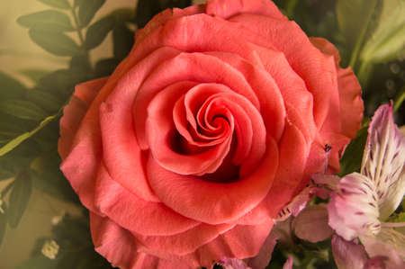 Pink coral rose, one flower from a bouquet, close-up, top View, flat lay.