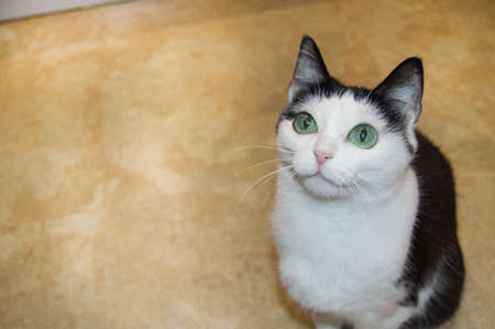 Cute black-and-white young cat sits with her head up and attentively looks with her green eyes, the concept of care and maintenance of Pets.