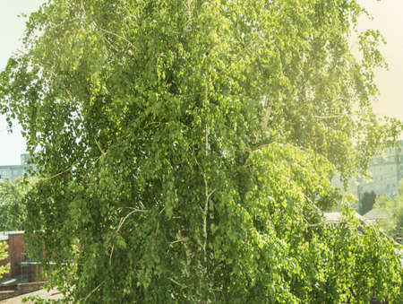 Close-up of a single birch with young green leaves in the spring or summer season, background of trees and foliage, copy of space. Reklamní fotografie