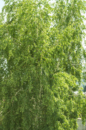 Close-up of a single birch with young green leaves in the spring or summer season, background of trees and foliage, copy of space, vertical photo.