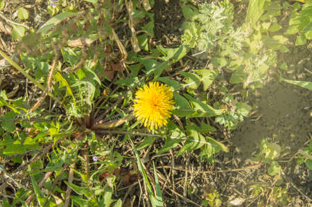 One yellow dandelion flower in green grass on a bright sunny spring day. Close-up, copy space for text.