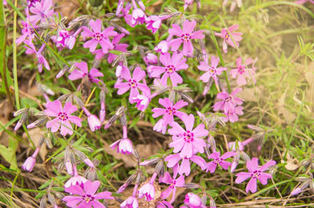 Phlox subulata, Phlox pink Flowers in the garden in summer in sunlight, floral background.