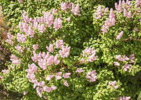 Top view of the flowering bushes of delicate pink lilac growing in the open, in the Park in the spring.