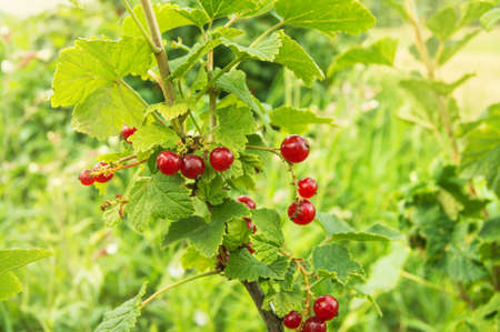 Currant bush with bunches of ripe red currants in summer.