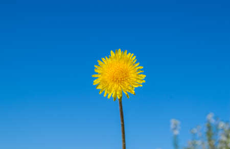 Blooming yellow dandelion against a blue sky on a Sunny summer day, ecology concept.