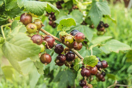 Bunches of blackcurrant ripen on a branch against a background of green leaves on a Sunny summer day, the concept of a harvest of organic berries. Stok Fotoğraf