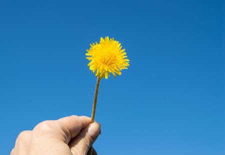 One yellow dandelion against a blue sky on a Sunny day in hand.