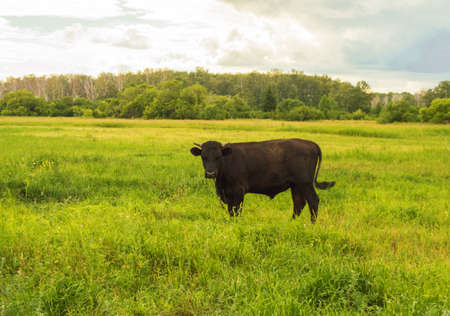 Young black bull grazing on a green meadow, summer before a thunderstorm, rural scene, cattle breeding concept. Reklamní fotografie
