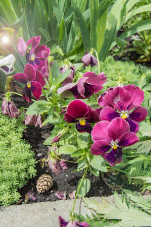 Vertical shot of bright purple Petunia flowers, Flowerbed with different plants, Petunia hybrida flower background, sunlight, light.