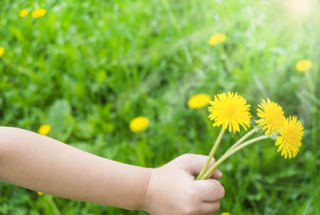 Close-up of a child's hand with a bouquet of yellow dandelions outdoors in summer, sunlight. 免版税图像