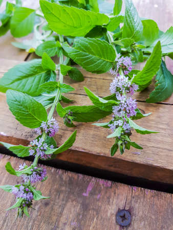 Blooming sprig of mint on a wooden background, evening Sunny Golden light, outdoor, close-up, romantic. Фото со стока