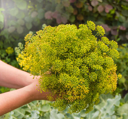 Fresh dill inflorescences of plants, dill umbrellas in the hands of a woman farmer, outdoor, summer day in the garden, in the garden with a blurred background. Natural background. Фото со стока