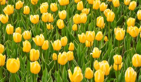 Beautiful yellow tulips blossom, blurred background