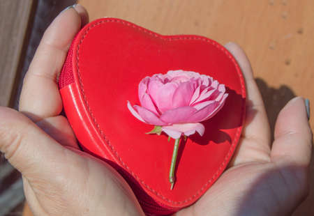 Close-up of two hands holding a beautiful pink rose lying on a red purse in the shape of a heart. The concept of love and a romantic gift for Valentine's day.
