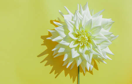One of the lush white flowers on a yellow background. Beautiful flower and copy space, hard bright shadows