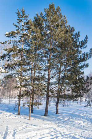 Coniferous trees pines in a winter forest or Park, Sunny frosty day, vertical frame. Banco de Imagens