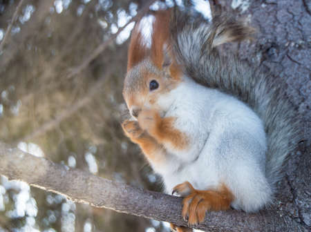 Cute squirrel sitting on a snow-covered pine branch, blurred background, selective focus. Banco de Imagens