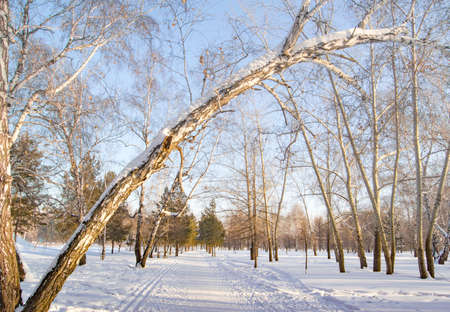 The old trunk of a tall birch tree bent over the alley on a frosty Sunny winter day in a snow-covered city Park.