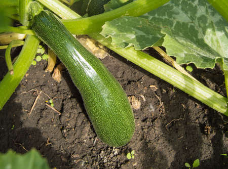 A cucumber attached with roots in the garden Banco de Imagens