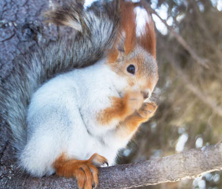 Cute squirrel sitting on a snow-covered pine branch, blurred background, selective focus Banco de Imagens