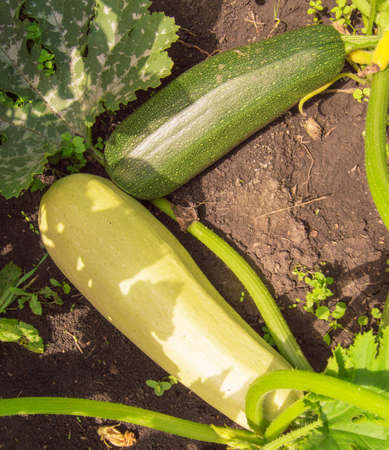 Two large zucchini on a bush in the garden, dark green and light green zucchini on the soil Banco de Imagens
