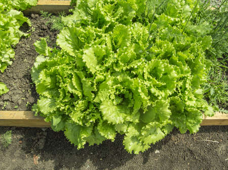 green ripe lettuce leaves growing on the soil in the garden on a bed, on a sunny summer day Banco de Imagens