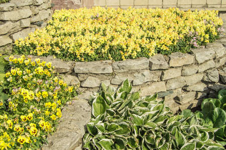 Yellow mattiola and pansies, hosta, in a flower bed, in an open garden with grass on a sunny summer day.