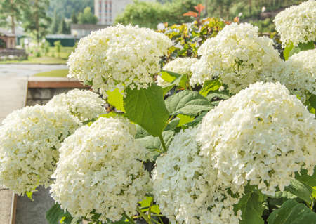 Abundant flowers of the beautiful white paniculate hydrangea, a lush shrub in the garden on a sunny summer day