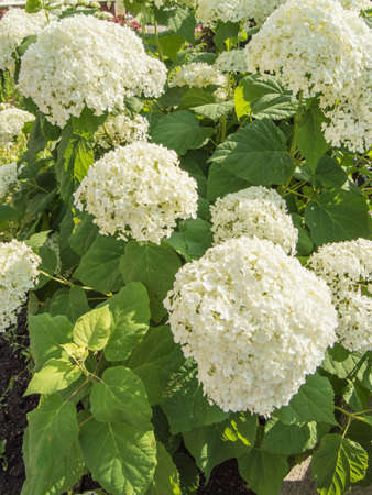 Vertical photo, abundant flowers of a beautiful white paniculate hydrangea, a lush bush in the garden on a sunny summer day