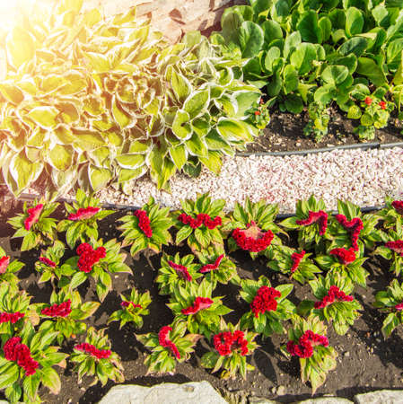 Vertical photo, hosta, red Turkish carnation on a flower bed, in an open garden with grass on a sunny summer day