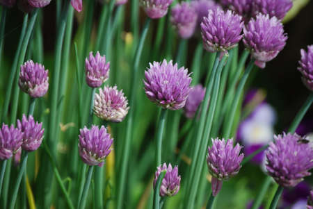 Chive blossoms in Spring