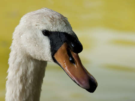 close up of a swan wet Stock Photo - 10020224
