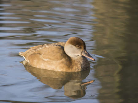 crested duck: Female Red Crested Pochard reflected in pond  This diving duck can be found in southern Europe and northern Africa and the male features the distinctive red crest