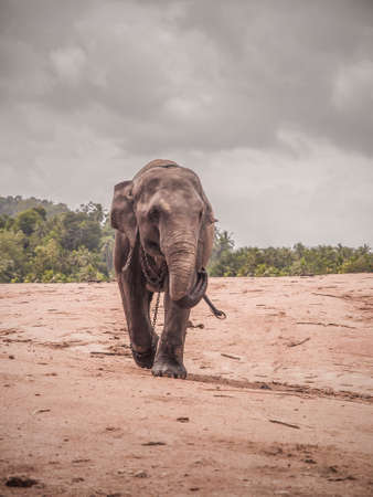 exemplary: Indian elephant in chains, because they felt unsafe
