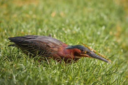 lurking: Green Heron lurking in the grass, waiting for its prey Stock Photo