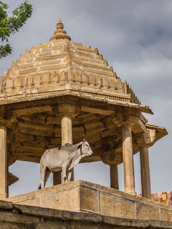india cow: sacred cow in India poses for tourists Stock Photo