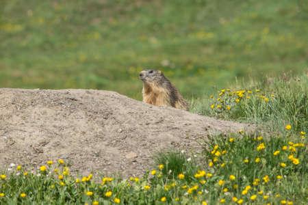meadowland: marmot careful on the stone before his burrow