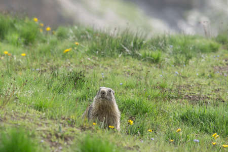 meadowland: curious groundhog emerges from its burrow