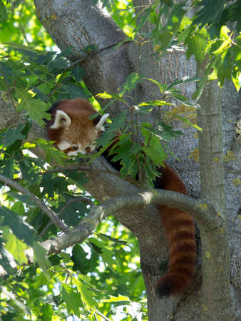 a red panda rests well on the tree Stock Photo